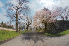 Path way of Cherry blossoms trees in park at Yamakata,Japan Royalty Free Stock Photography