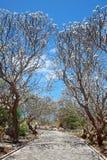 Path way with frangipani Stock Photo