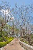 Path way with frangipani Royalty Free Stock Image