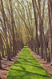Path way through the trees. Lighted path way through the row of trees stock photography