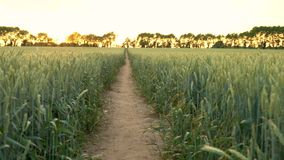 Path through wheat or barley field blowing in the wind at sunset or sunrise. Falling crane or jib 4K clip of path through wheat or barley field blowing in the stock video