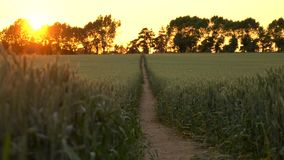 Path through wheat or barley field blowing in the wind at sunset or sunrise. Pull focus, foreground to background, 4K clip of path through wheat or barley field stock video