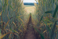 Path in the wheat. Field Royalty Free Stock Images