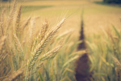 Path in the wheat. Field Stock Photography