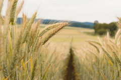 Path in the wheat. Field Stock Photo