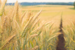Path in the wheat. Field Royalty Free Stock Photos