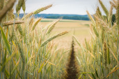 Path in the wheat. Field Stock Photos