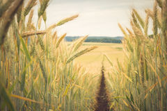 Path in the wheat. Field Stock Images