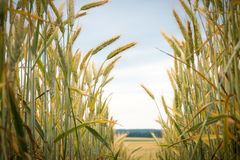Path in the wheat. Field Royalty Free Stock Image