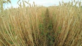 Path in wheat field stock video footage
