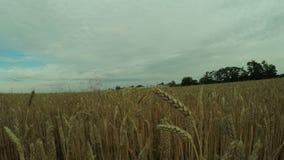 Path in wheat field stock video