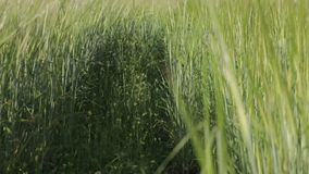 Path in a Wheat Field. Prototted path in the wheat field stock video footage