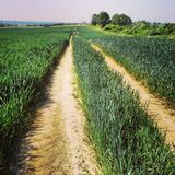 Path in wheat field Royalty Free Stock Photo