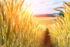 Path in the wheat. Field Stock Image
