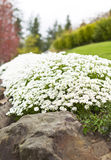 Path of White Flowers on Rocks Royalty Free Stock Images