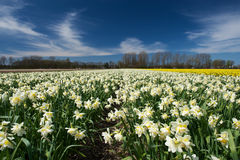 Path among the white narcissus flowers growing in a field, the N Royalty Free Stock Photography