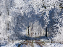 Path with white trees. In winter Stock Photography