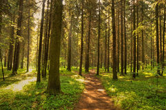 Path in Wild forest stock image