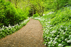 Path through Wild Garlic Royalty Free Stock Photography