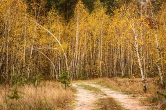 Path rests on the autumn birch grove Royalty Free Stock Photos