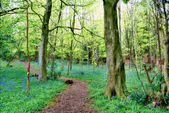 Path winding through bluebell woods Royalty Free Stock Images