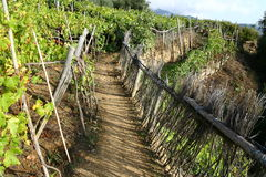 Vineyard path Royalty Free Stock Photography