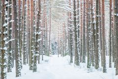 Path in winter forest, tree trunks. Covered with snow stock images