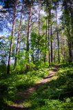Path in the wood. In siberia Royalty Free Stock Photo