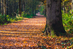 Path through woodland in autumn Royalty Free Stock Images