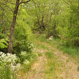 Path in the woods_01. Through Sannine, Lebanon wood lands lies an easy foot path Royalty Free Stock Image