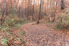 A path in the woods around tall trees royalty free stock photography