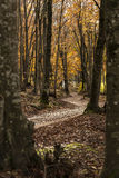 Path. In the woods in an autumn morning Royalty Free Stock Image