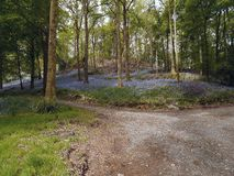 Path in woods with bluebells Stock Images