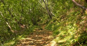 Path in the woods. Path in green forest in nature with green vegetation in summer stock footage