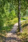 Path in the woods. Near birch Royalty Free Stock Image