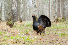 On the path worth wood grouse Stock Photography