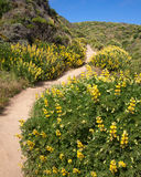 Path through Yellow Bush Lupine in California Royalty Free Stock Image