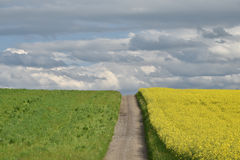 Path through yellow field. On spring day royalty free stock photos