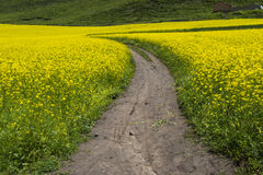 Path in the yellow flower field Royalty Free Stock Photography