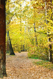 Path in yellow forest in autumn Royalty Free Stock Images