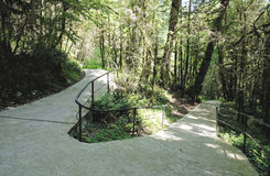 Path on Yew-tree grove Royalty Free Stock Image