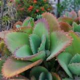 Patharkuchi植物被扩大化的视图 库存照片
