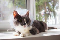 Pathetic grey cat patient. Pathetic quarantine sick grey cat transparent e-collar patient window Royalty Free Stock Photography