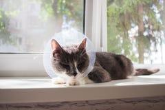 Pathetic grey cat patient. Pathetic quarantine sick grey cat transparent e-collar patient window Royalty Free Stock Image