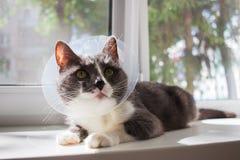 Pathetic grey cat patient. Pathetic quarantine sick grey cat transparent e-collar patient window Stock Image