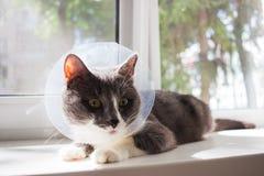Pathetic grey cat patient. Pathetic quarantine sick grey cat transparent e-collar patient window Stock Photo