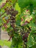 Pathologie de raisin, putréfaction noire sur la vigne et fruit provoqué par un champignon ascomycetous, bidwelli de Guignardia Images libres de droits