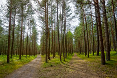 Paths in pine forest Stock Photos