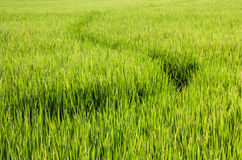 Paths in Rice field Stock Photo
