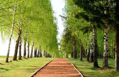 The pathway along a birch alley. Pathway of brick chips along a birch alley Stock Photography